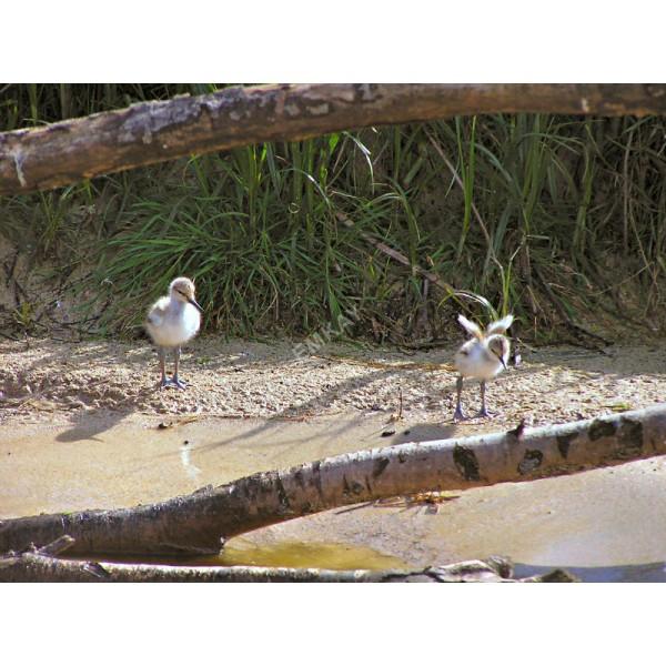 AB14 - Pied Avocet - Chicks