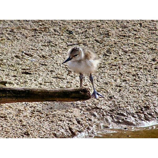 AB18 - Pied Avocet - Chick