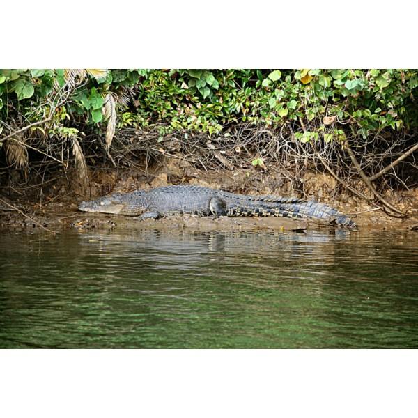CR3CS - Saltwater Crocodile