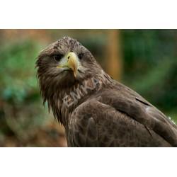 Iconic EAGLES