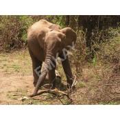 Iconic ELEPHANTS