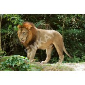 Iconic LIONS