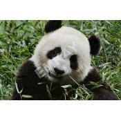Iconic GIANT PANDAS