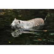 Iconic TIGERS